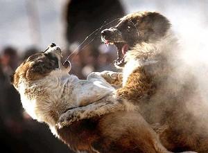 combattimento-cane